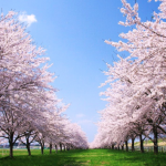 What is Ohanami? When do Japanese Enjoy Cherry Blossom Viewing?